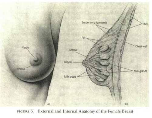 Female Breast - Masters and Johnson Human Sexuality Book
