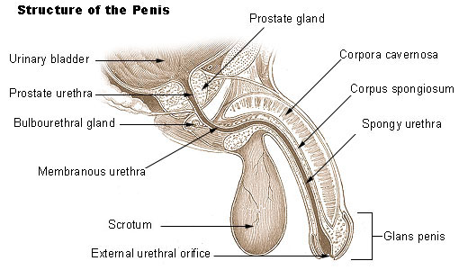Illu_penis-commons-wikipedia