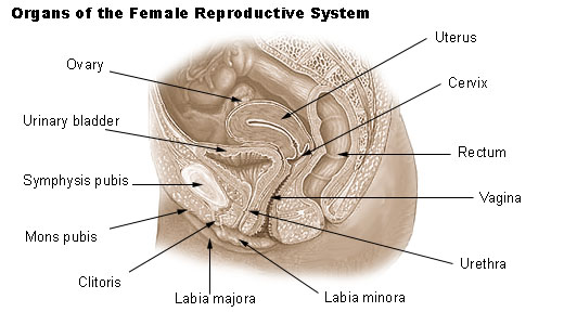 Illu_repdt_female-wikipedia