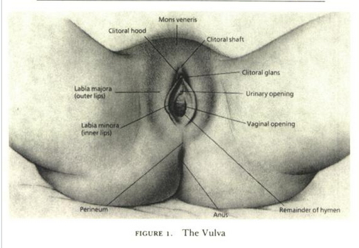 Vulva - Masters and Johnson Human Sexuality Book